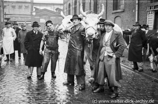 Metzger, Viehhändler und Rinder im Schlachthof Köln-Ehrenfeld 1953